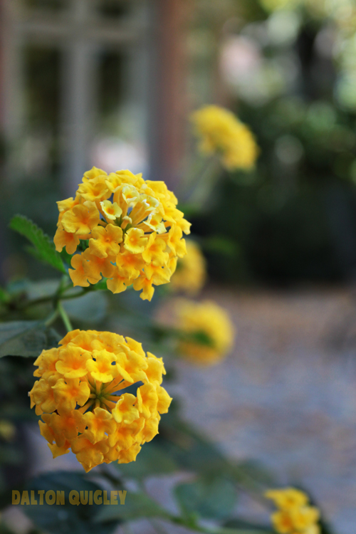 Nashville Landscaping ideas Yellow Lantana Blooms Flowers Close up beautiful