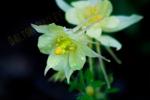 Tennessee Native Perennials Columbine Nashville Area Flowers.