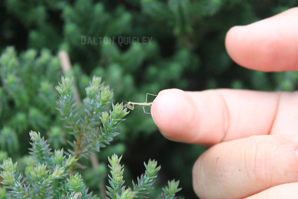 Baby-Praying-Mantis-Crossing-to-Branch