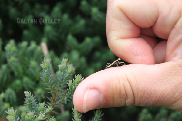 Baby-Praying-Mantis-On-thumb