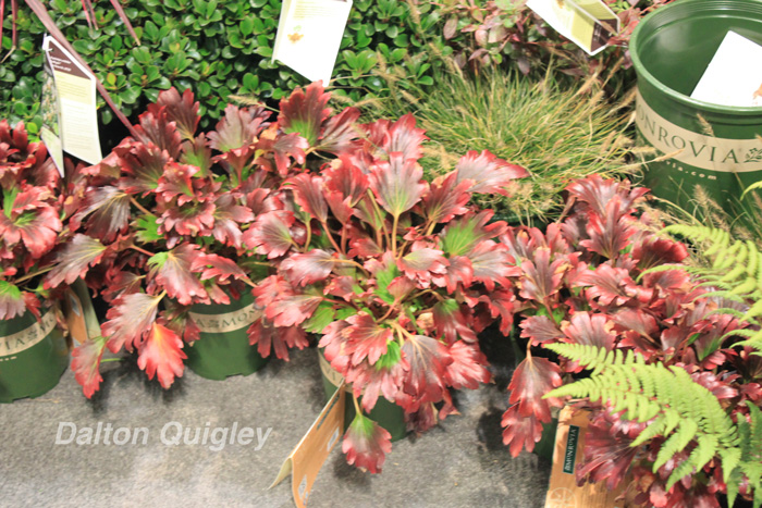 Red-Leaved-Mukdenia-MTNA-Nursery-Show-TN