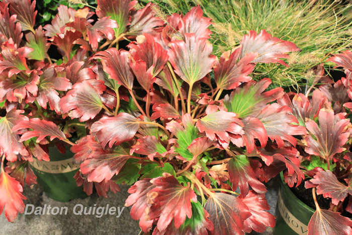 Red-Leaved-Mukdenia-MTNA-Trade-Show
