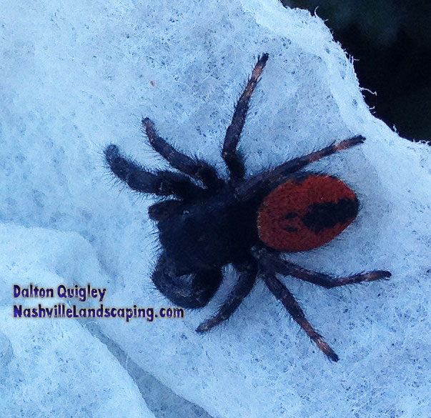 spider-red-black-jumping-california